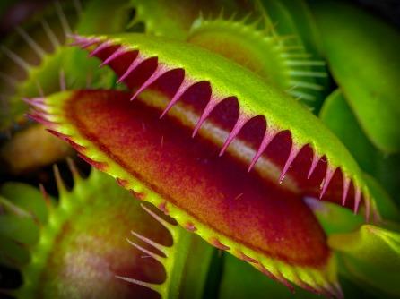 The Venus flytrap.