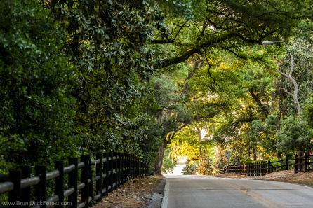 Oak trees creating a tunnel over the road