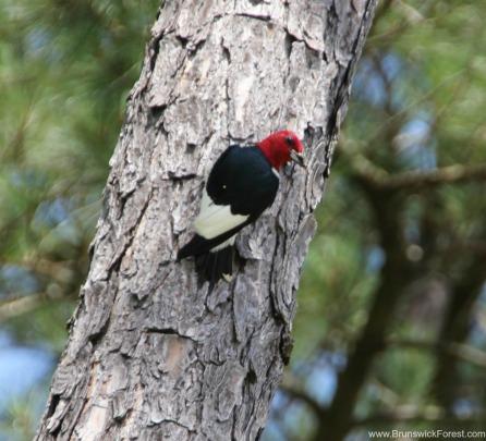 RED HEAD BIRD